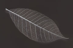 Dry transparent leaf Royalty Free Stock Photos