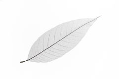 Dry transparent leaf Stock Photos