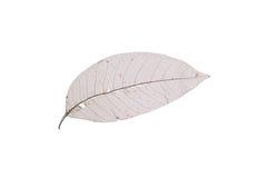 Dry transparent leaf Royalty Free Stock Image