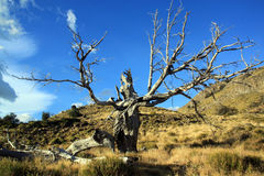 Dry tree Royalty Free Stock Photography