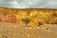 Dry tree. The beginning of the Red canyon in mountains about Eilat in Israel royalty free stock image