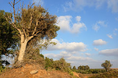 Dry tree Royalty Free Stock Image
