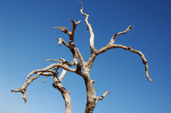 Dry tree on blue sky background Royalty Free Stock Image