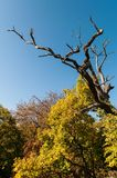 Dry tree. With blue sky Stock Photography