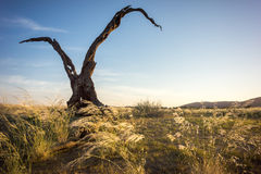 Dry tree. At sunset close to the Namib desert in Namibia Royalty Free Stock Photo
