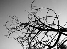Dry tree. Tree in black and white Stock Photography