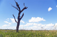 Dry tree. Dry tree on a background of a green grass Stock Photography