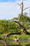 Dry tree above water in the Serengeti. Tanzanya. Small pond - home of crocodile. Dry tree above water. Serengeti, Tanzanya n Royalty Free Stock Images