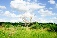 Dry tree against the blue sky Royalty Free Stock Images