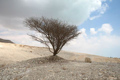 Dry Tree At The Dead Sea Stock Photography