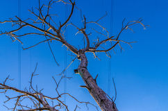 Dry tree. On background of blue sky with high-voltage wires Stock Photography