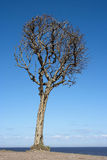 Dry tree on a background of blue sky Stock Photos