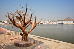 Dry tree on the banks of Pushkar lake Stock Photos