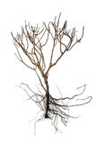 Dry Tree and Bare Root isolated on white background for ecology Stock Photo