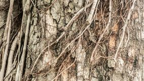 Dry tree bark texture background.Close up big tree stock image