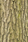 Dry tree bark texture background, closeup Royalty Free Stock Photography
