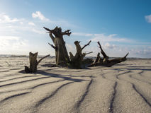 Dry tree on the beach of the Baltic Sea Stock Photography