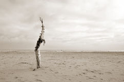 Dry tree on the beach Stock Images