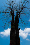 The dry tree Royalty Free Stock Photography