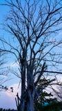 Dry tree. In blue sky Stock Photos