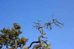 Dry tree and Blue sky Background Royalty Free Stock Image