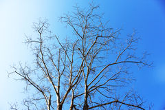 Dry tree and Blue sky Background Stock Photography