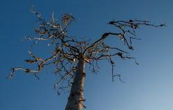 Dry tree on blue sky background. With golden sundown light Royalty Free Stock Image