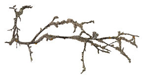 Dry tree branch isolated Stock Photos