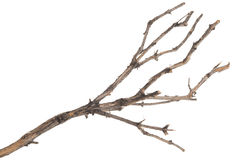 Dry tree branch Royalty Free Stock Image