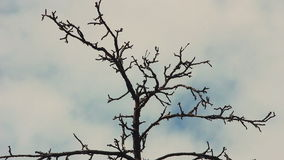 Dry tree branches against the sky. Dry tree branches against the backdrop of a cloudy sky stock video