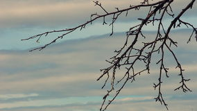 Dry tree branches against the sky 2. Dry tree branches against the backdrop of a cloudy sky HD stock footage
