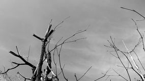 Dry tree branches. Black and white dry branches of tree against gray sky Stock Photography