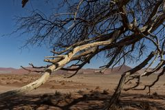 Dry tree branches in the Namibia desert. Sossusvlei. Africa royalty free stock photo