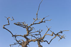 Dry tree branches Royalty Free Stock Photos