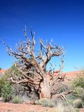 Dry tree in Canyonlands Royalty Free Stock Photography