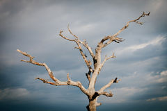 Dry tree with a cloudy sky Stock Image