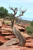 Dry tree in in Colorado national Monument royalty free stock image