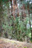 Dry tree of Common Juniper in pinewood royalty free stock images
