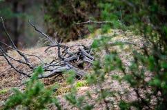 Dry tree of Common Juniper in pinewood stock image