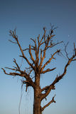 Dry tree. Royalty Free Stock Image