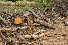 Dry tree is cut pile. Stock Photos
