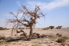 Dry tree in desert. Royalty Free Stock Photos