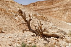 Dry tree in the desert. (Nahal Barak valley, Israel&#x29 Royalty Free Stock Images