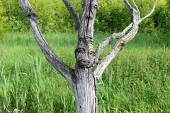 Dry tree on the edge of the swamp. Stock Photos