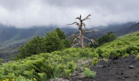 Dry tree after the eruption of the volcano, lava, etna, sicily royalty free stock images