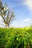 Dry tree in a field with a juicy green grass. Summer landscape Stock Photography