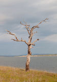 Dry tree at the foot of a lake Stock Image