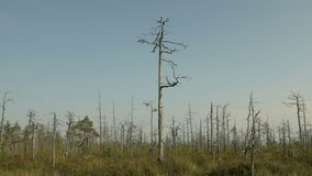 Dry tree in the forest after fire. Autumn daytime. Smooth dolly shot.  stock footage