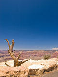Dry Tree in Grand Canyon Royalty Free Stock Image