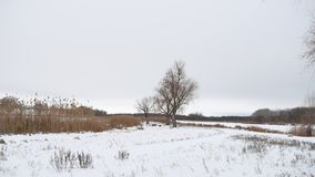 Dry tree and grass reeds on the river in winter snow landscape. Dry tree and grass reeds on river in winter snow landscape stock video